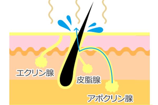 わきが臭は、アポクリン腺からの汗が原因で発生する