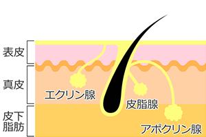 汗腺は、アポクリン汗腺とエクリン汗腺の2種類である。